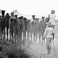 Herd Of Camels by Jagdish Agarwal