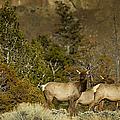 Herd Of Cow Elk   #7672 by J L Woody Wooden