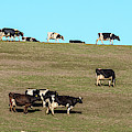 Herd Of Cows Grazing On A Hill, Point by Panoramic Images