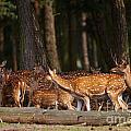 Herd Of Deer In A Dark Forest by Nick  Biemans