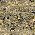 Herd Of Elk   #3218 by J L Woody Wooden