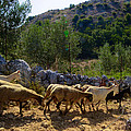 Herd Of Sheep In Tuscany by Dany Lison