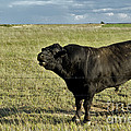 Hereford Bull by Mark Newman