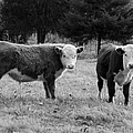 Hereford Portrait V In Black And White by Suzanne Gaff