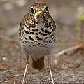 Hermit Thrush And The Grub by Kathy Baccari