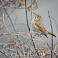 Hermit Thrush by Bill Wakeley