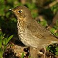 Hermit Thrush by James Peterson