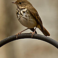 Hermit Thrush by Robert L Jackson