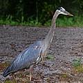 Heron 14-1 by Maria Urso