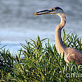 Heron And Crayfish 2029 by Jack Schultz