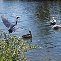 Heron And Pelicans by Robert Floyd