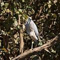 Heron At Katherine Gorge by Carol Ailles
