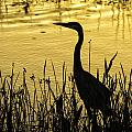 Heron At Sunrise by Fran Gallogly