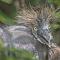 Heron Chick by Jim Rettker