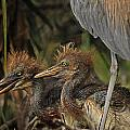 Heron Chicks by Jim Rettker
