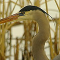 Heron Close Up by Jeff Swan
