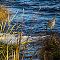Heron Fishing by Mick Anderson
