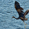 Heron In Flight by Ron Roberts