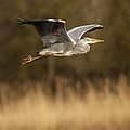 Heron In Flight by Simon West