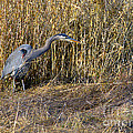 Heron In The Grass by Sharon Talson