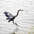 Great Blue Heron Landing In Shallow Water by William Kuta