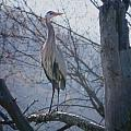Heron Looking Out by MTBobbins Photography