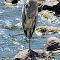 Heron On One Leg by Kenny Glotfelty