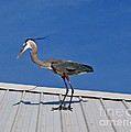 Heron On Rooftop by Marian Bell