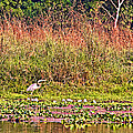 Heron On Shore Of Rapti River In Chitwan Np-nepal  by Ruth Hager