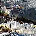 Heron On The Rocks by Rrrose Pix