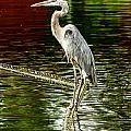 Heron On The Stick by Terri Morris