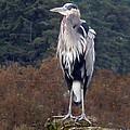 Heron by Sherry Shipley