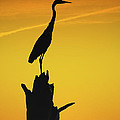 Heron Silhouette by Amy Jackson