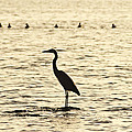 Heron Standing In Water by Bill Cannon