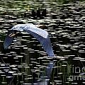 Heron Take Off by Kenny Glotfelty