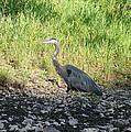 Heron Travels  by Neal Eslinger