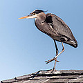 Heron Up On The Roof by Robert Frederick