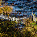 Heron Watchful Eye by Mick Anderson