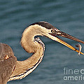 Heron With Catch by Stephen Whalen