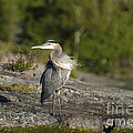 Heron With Corkscrew Neck by Gord Horne