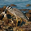 Heron With Crab by Stephen Whalen