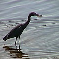 Heron With Fish by Robert Norcia