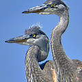 Herons On The Lookout by Jennie Breeze