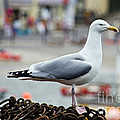 Herring Gull At The Harbour by Susie Peek