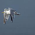 Herring Gull In Flight by Karol Livote