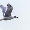 Herring Gull In Flight by Nate Wilson