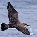 Herring Gull In Flight Photo by Meg Rousher