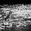 Herron Hunting by Brett Beaver