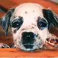 Dalmatian Sweetpuppy by Belinda Lee