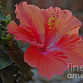 Hibiscus 1 by Alan Look